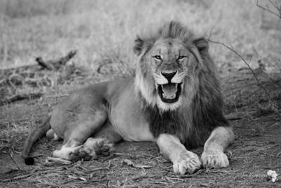 Laughing Lion - BW