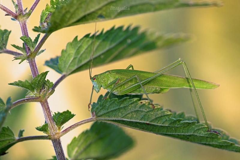 Prostoskrzydłe / Orthoptera