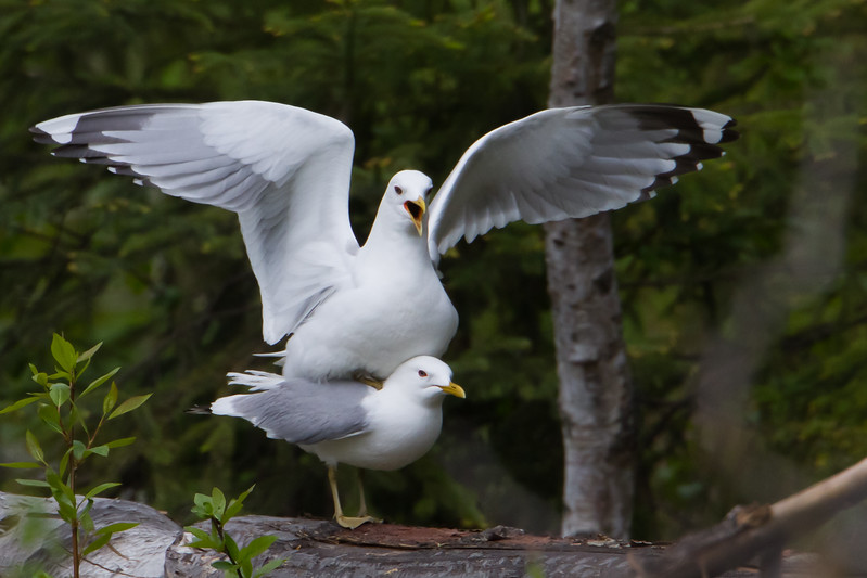Mew Gulls Mating - Anchorage, AK, USA