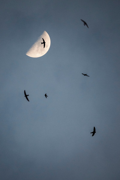 Waxing moon and flying swifts