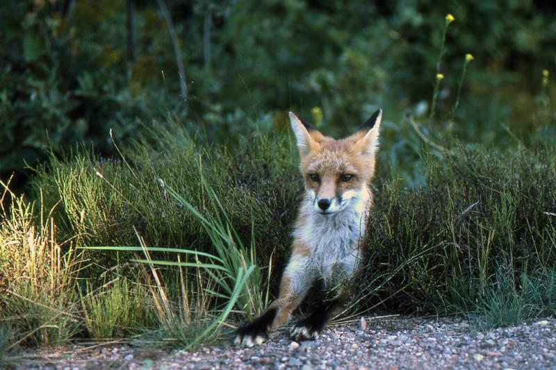 Fox - Sibley Provincial Park, Ontario, Canada - August 1987