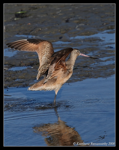 Marbled Godwit landing, Robb Field, San Diego County, California, December 2008