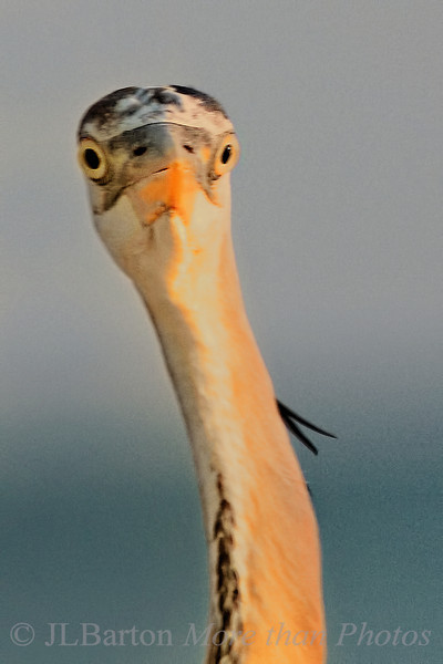 Heron starin'