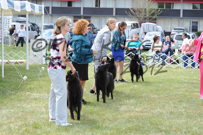 Friday Belgian Sheepdog Bitches: In The Ring