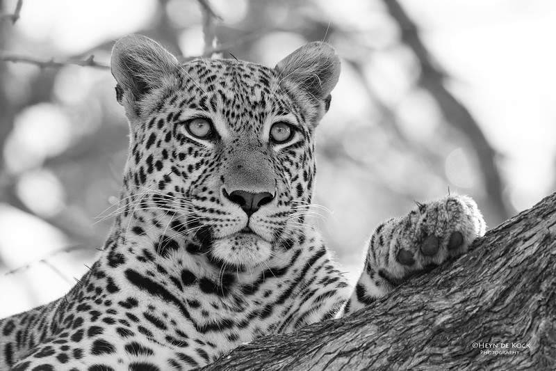 Leopard, b&w, Khwai River Concession, Botswana, May 2017-4.jpg