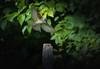 Juvenile Eastern-Wood Pewee