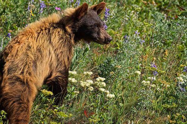 Bear Cub In Meadow Of  Wildflowers Series-  1 of 5