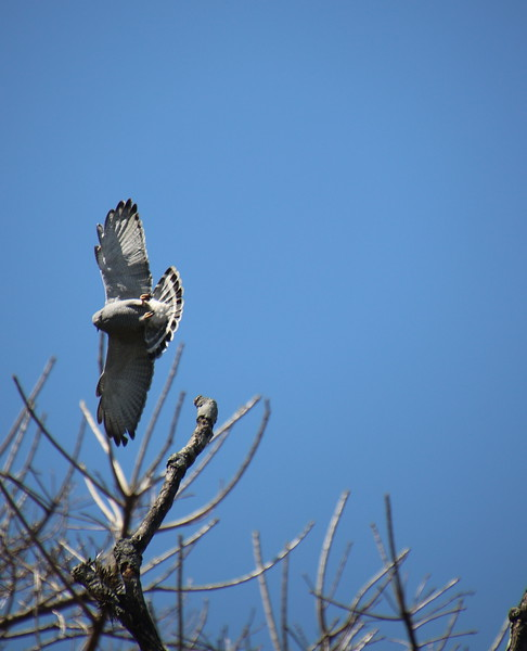 Hawk on tree getting ready to fly