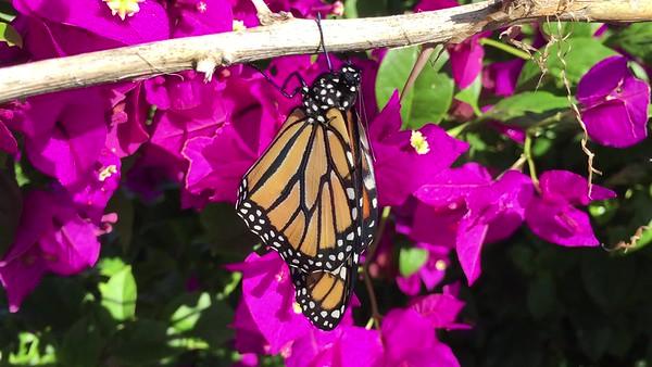 Monarchs-2017