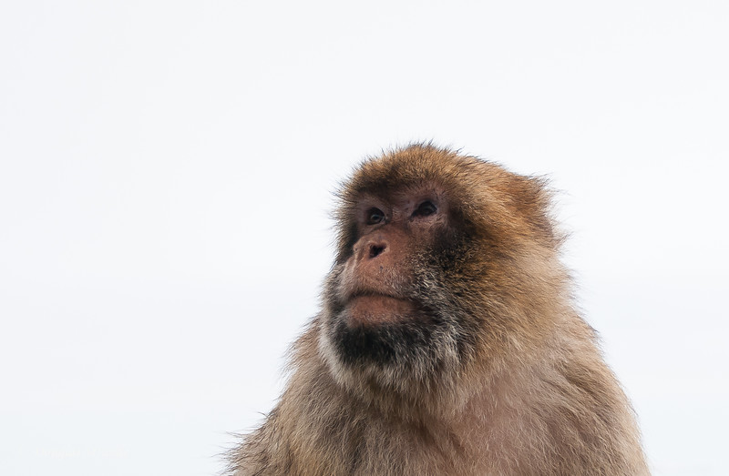 Gibraltar - Barbary Apes on the Rock