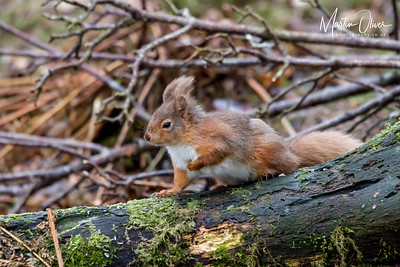Squirrel, Red