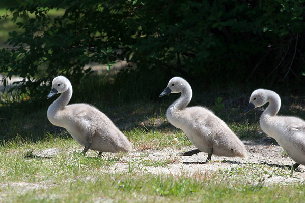 2008 - Cygnets and Egrets