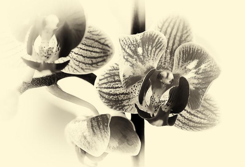 134.Martin Torres.2.Monochrome Orchids.jpg