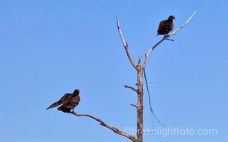 Black Turkey Vultures