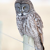 Great grey owl - Rocky View County, Alberta