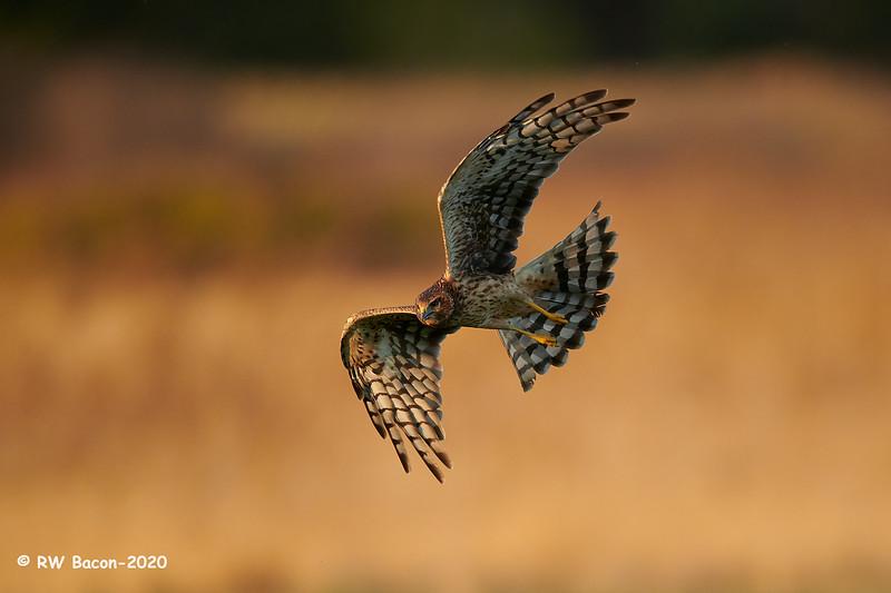 Harrier Flare.jpg