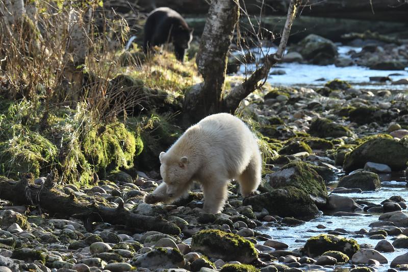 Spirit Bear and black bear