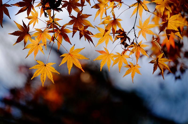 Autumn Maple Leaves.jpg