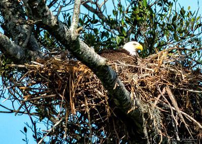2021 Bald Eagles Florida