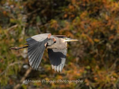 Great Blue Heron, 19 November 2018