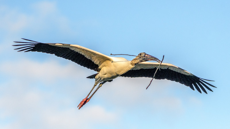 Wood Stork - flyign with stick