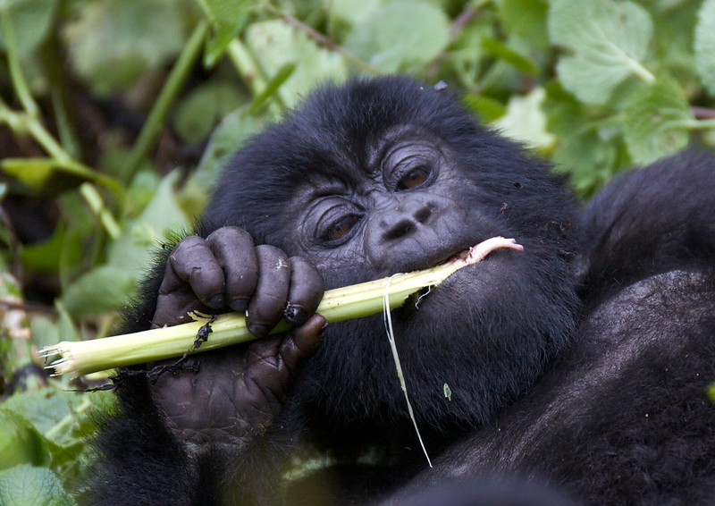 Gorillas  8436.jpg