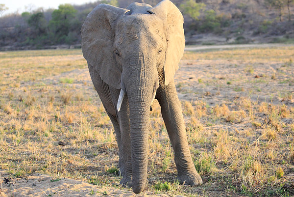 Elephants MalaMala South Africa 2016