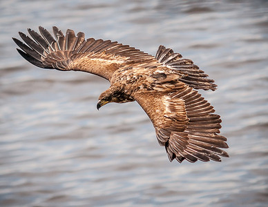 Bald Eagles Orcas Island