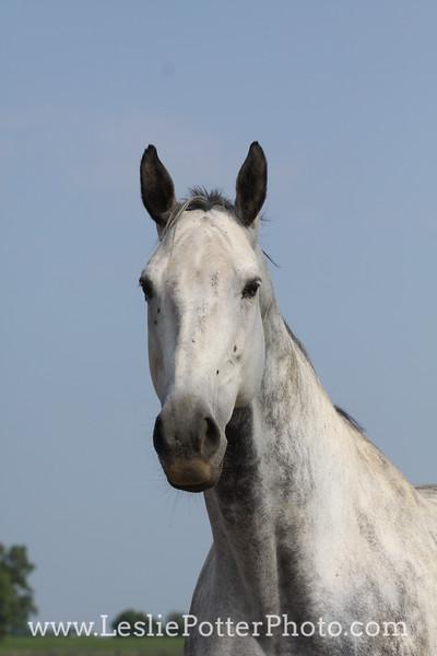 Gray Horse Headshot