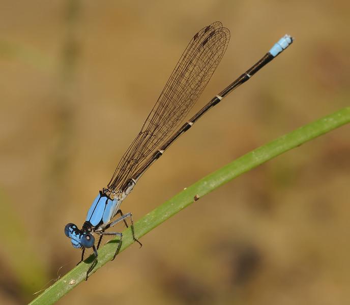 Argia apicalis (Blue-fronted Dancer), CO
