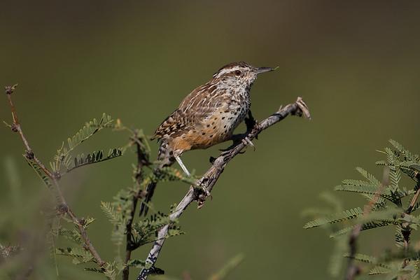 209 Troglodytidae - Wrens