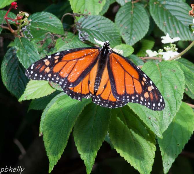 08/06.  So far, this is the only Monarch I have seen.  None at home yet, this is at the Botanical Garden.