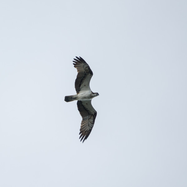 Pandion haliaetus, Fiskgjuse, Osprey