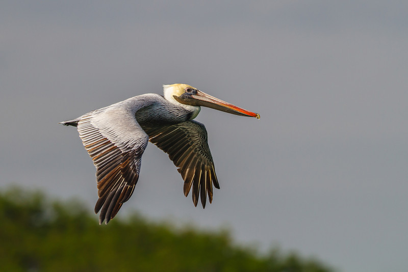 Brown Pelican, Jetty Park (Port Canaveral)