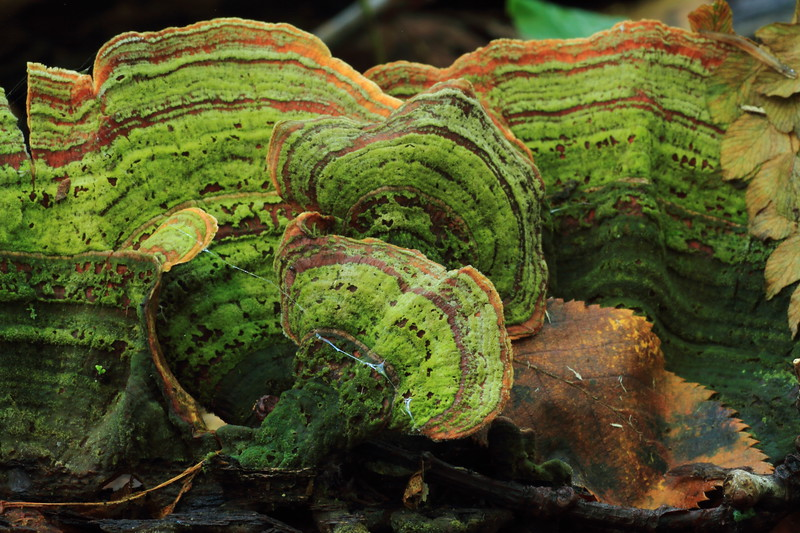 Moss covered Turkey Tail- Stanford Township Park