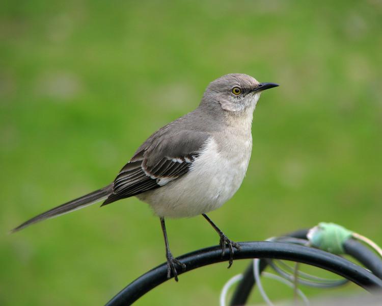 mockingbird_3678.jpg