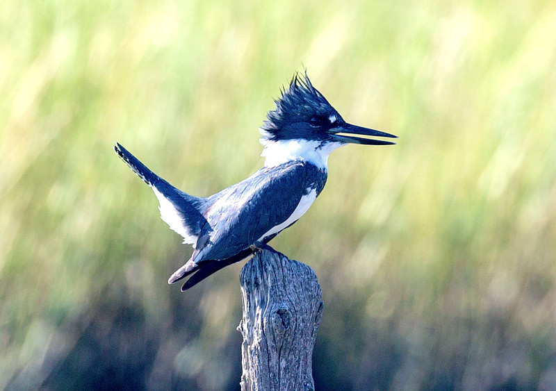 Belted Kingfisher talking