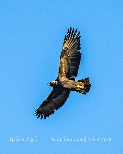 _DSC6111Golden Eagle.jpg