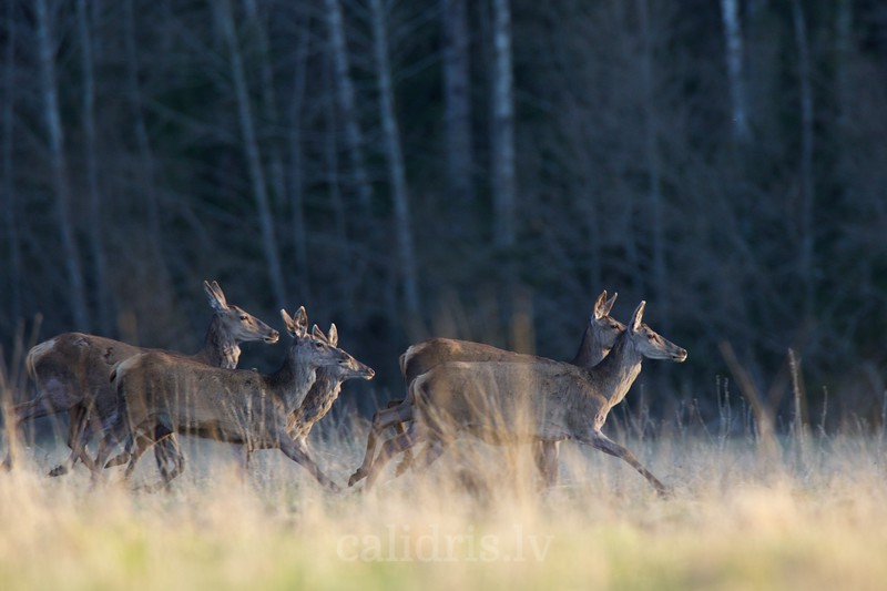 Small heard of Red Deer run in a forest clearing