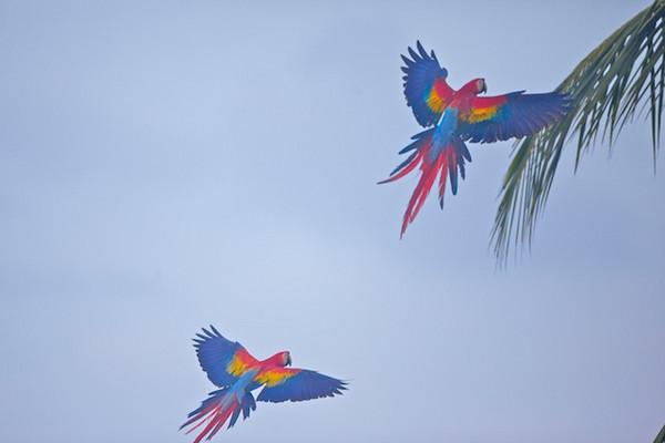 Scarlet Macaw_Ara macao_La leona_CR_Nov 2010.jpg