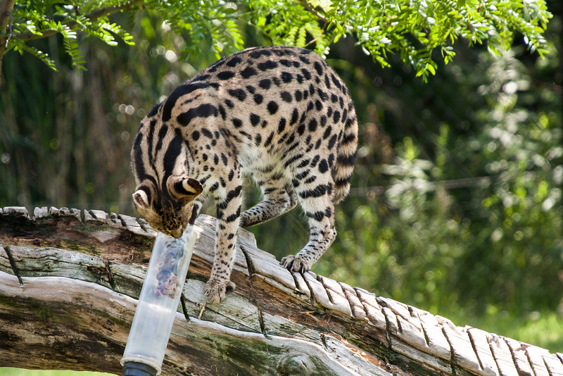 African Serval reaching for a treat