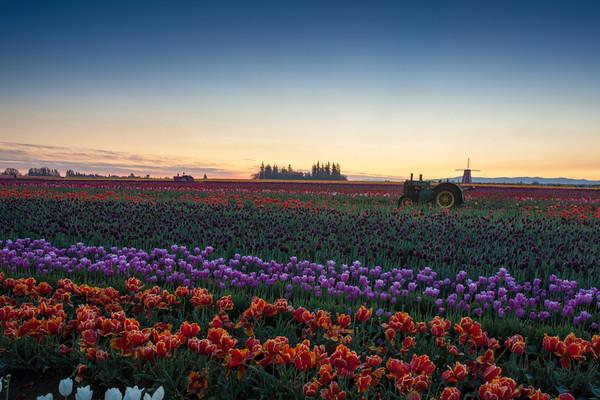 Tulips For Lissa