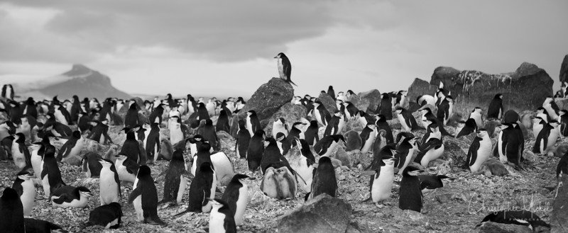 King of the Rookery Penguin Island
