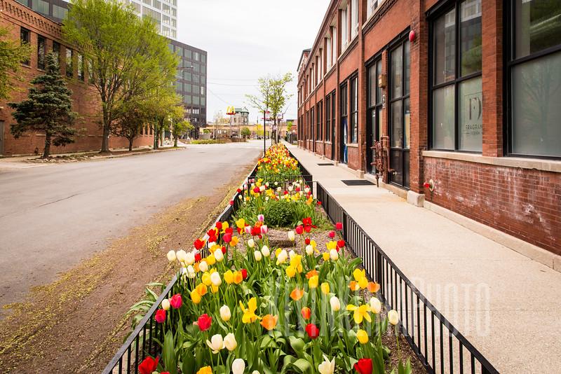 West Loop Tulips