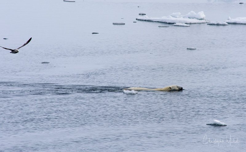 Polar Bear Swimming Alone.jpg