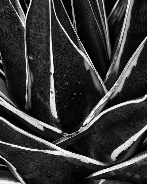 agave victoria reginae 'kazo bano'