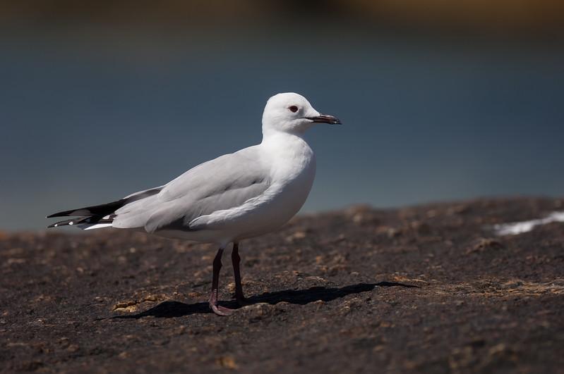 Hartlaub's Gull, Boulders Beach, Simons Town
