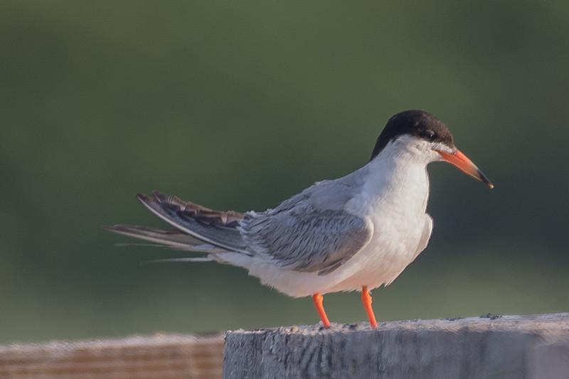 19-Sept North America Birds-4526.JPG