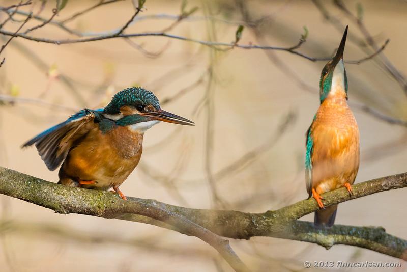 Isfugl (Kingfisher - Alcedo atthis)