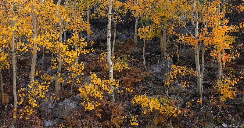 Bishop Creek fall aspen panorama